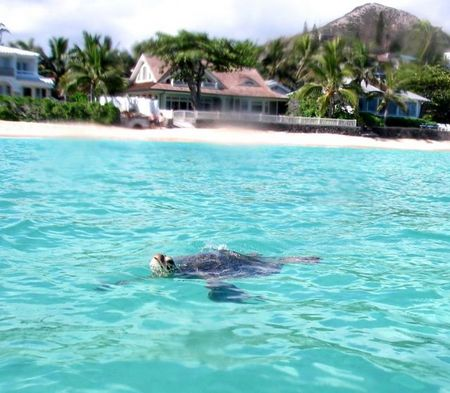 kailua-beach-sea-turtle.jpg