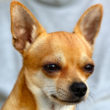 chihuahua-sobel-dog-50718-medium.jpeg